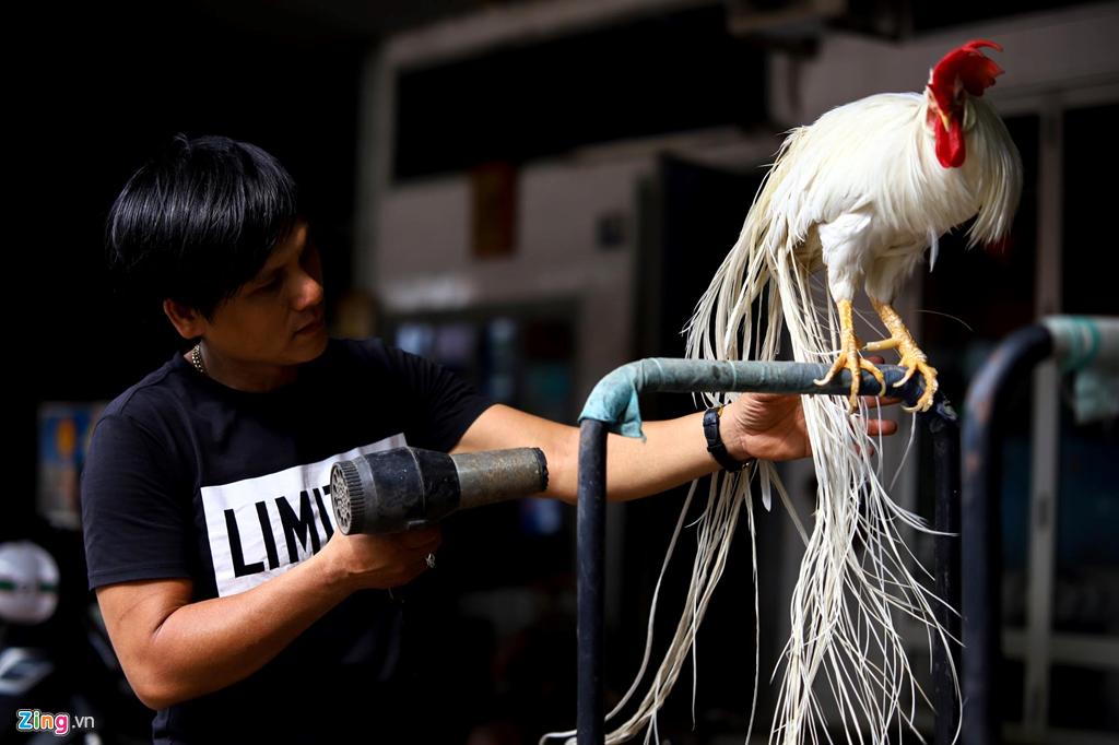 Gà lạ đuôi dài cả mét ở Tây Ninh: Ngồi đo đuôi tính tiền trăm triệu - Hình 5