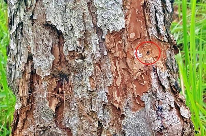 Thông tin mới nhất về rừng thông quý 27 năm tuổi ở Đà Lạt bị đầu độc - Hình 2