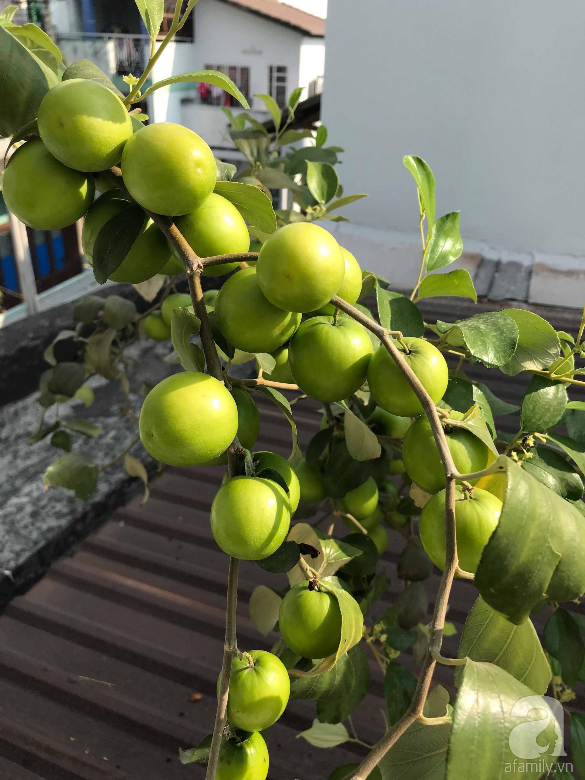 Kinh nghiệm trồng táo trên sân thượng thu hoạch không xuể của người đàn ông đảm đang ở Sài Gòn - Hình 15