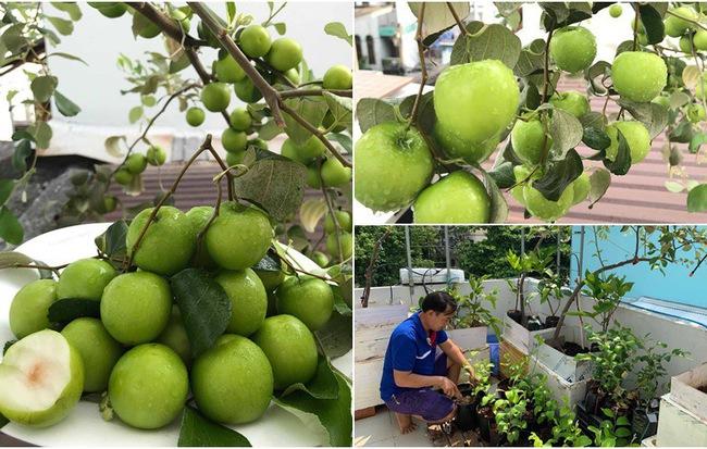 Kinh nghiệm trồng táo trên sân thượng thu hoạch không xuể của người đàn ông đảm đang ở Sài Gòn - Hình 1
