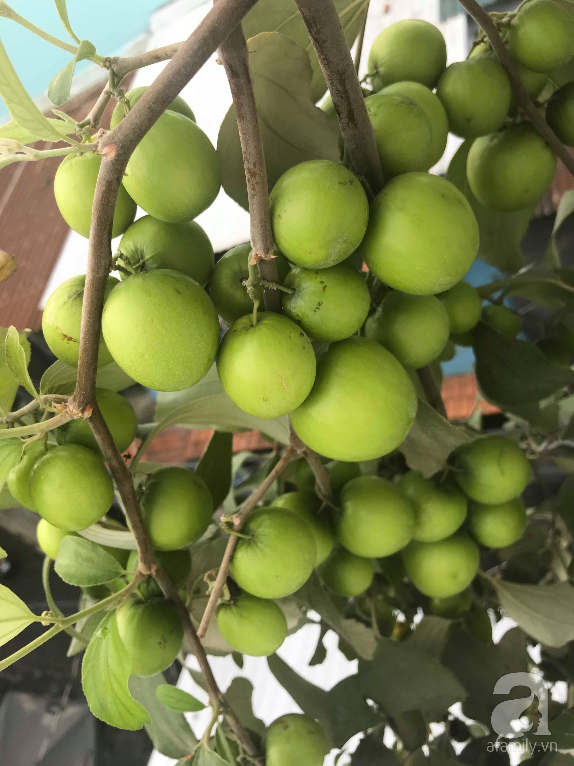 Kinh nghiệm trồng táo trên sân thượng thu hoạch không xuể của người đàn ông đảm đang ở Sài Gòn - Hình 6