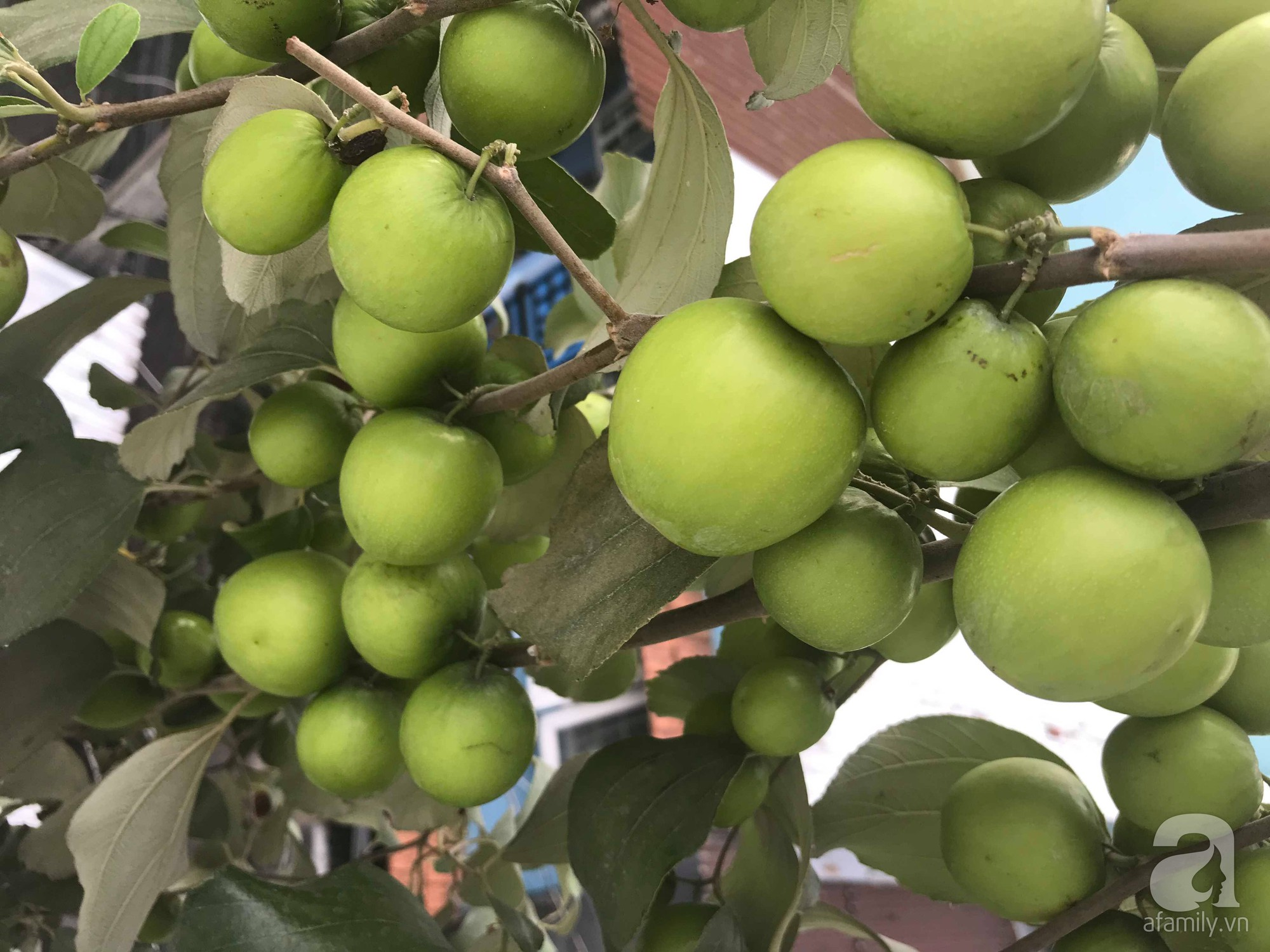 Kinh nghiệm trồng táo trên sân thượng thu hoạch không xuể của người đàn ông đảm đang ở Sài Gòn - Hình 2