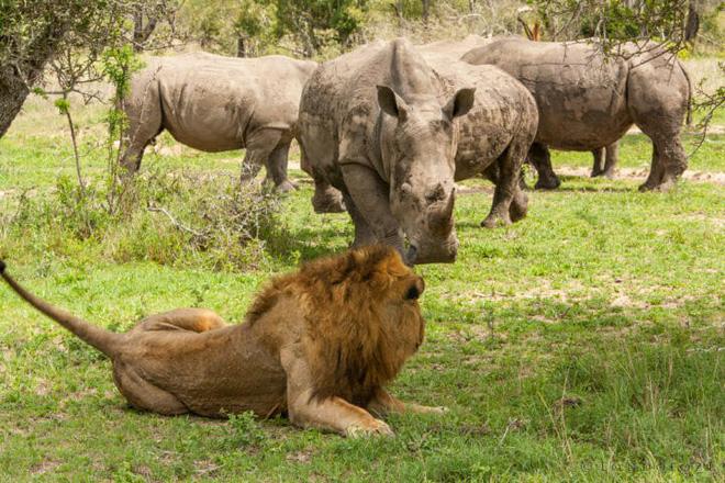 Đang phơi nắng thì bị tê giác cà khịa, vợ chồng sư tử cũng đành cúp đuôi chạy - Hình 2