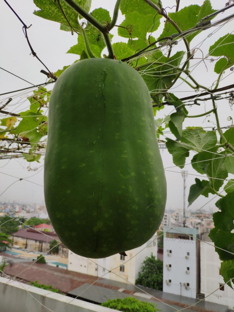 Khu vườn trên cao đủ loại rau xanh quả sạch bà ngoại ngày đêm chăm bón cho cháu thưởng thức ở Sài Gòn - Hình 22