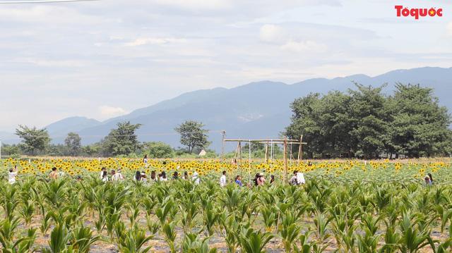 Giới trẻ hào hứng check-in cánh đồng hoa hướng dương ở Gò Nổi - Hình 1