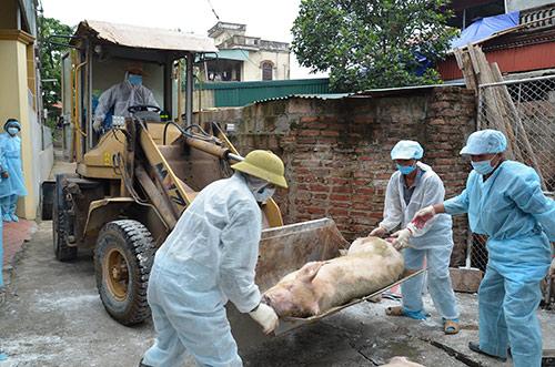 Chặn dịch tả lợn châu Phi: Đợi phát hiện ổ dịch thì đã muộn - Hình 1