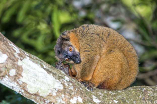 Madagascar - Thiên đường của những loài động vật kỳ lạ - Hình 15