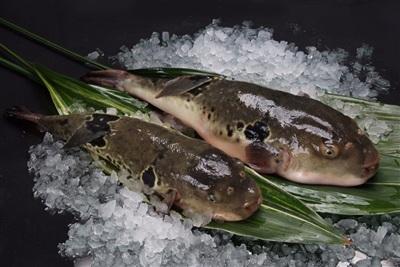 7,5 triệu đồng/100g thịt, ai mà ngờ loại cá vừa xấu xí vừa cực độc này lại đáng giá ở Nhật Bản đến thế - Hình 8
