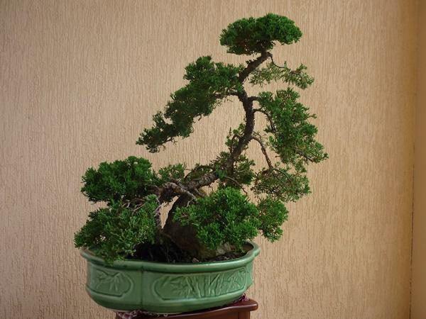 5 loại cây phong thủy nhà giàu không muốn trồng, đẹp mấy cũng không rước vào nhà - Hình 2