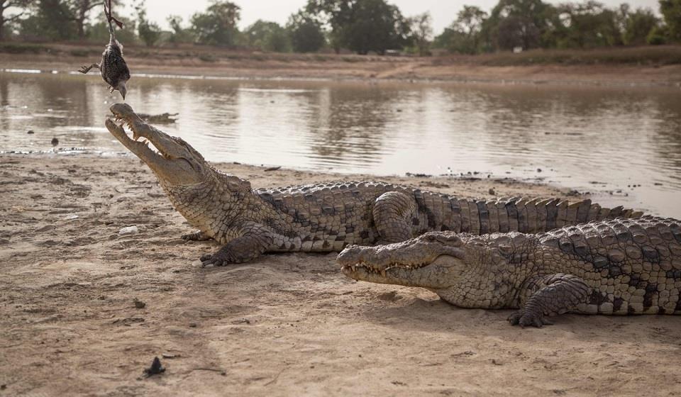 Kỳ lạ ngôi làng sống cùng hàng trăm con cá sấu - Hình 2