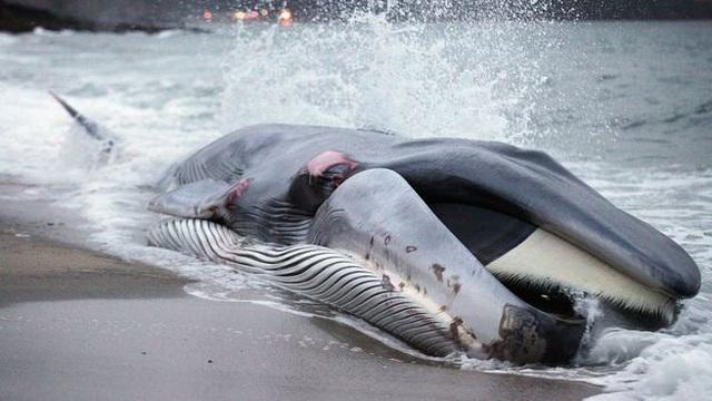 Cá voi mắc cạn ngày càng tăng dọc bờ biển nước Anh - Hình 2