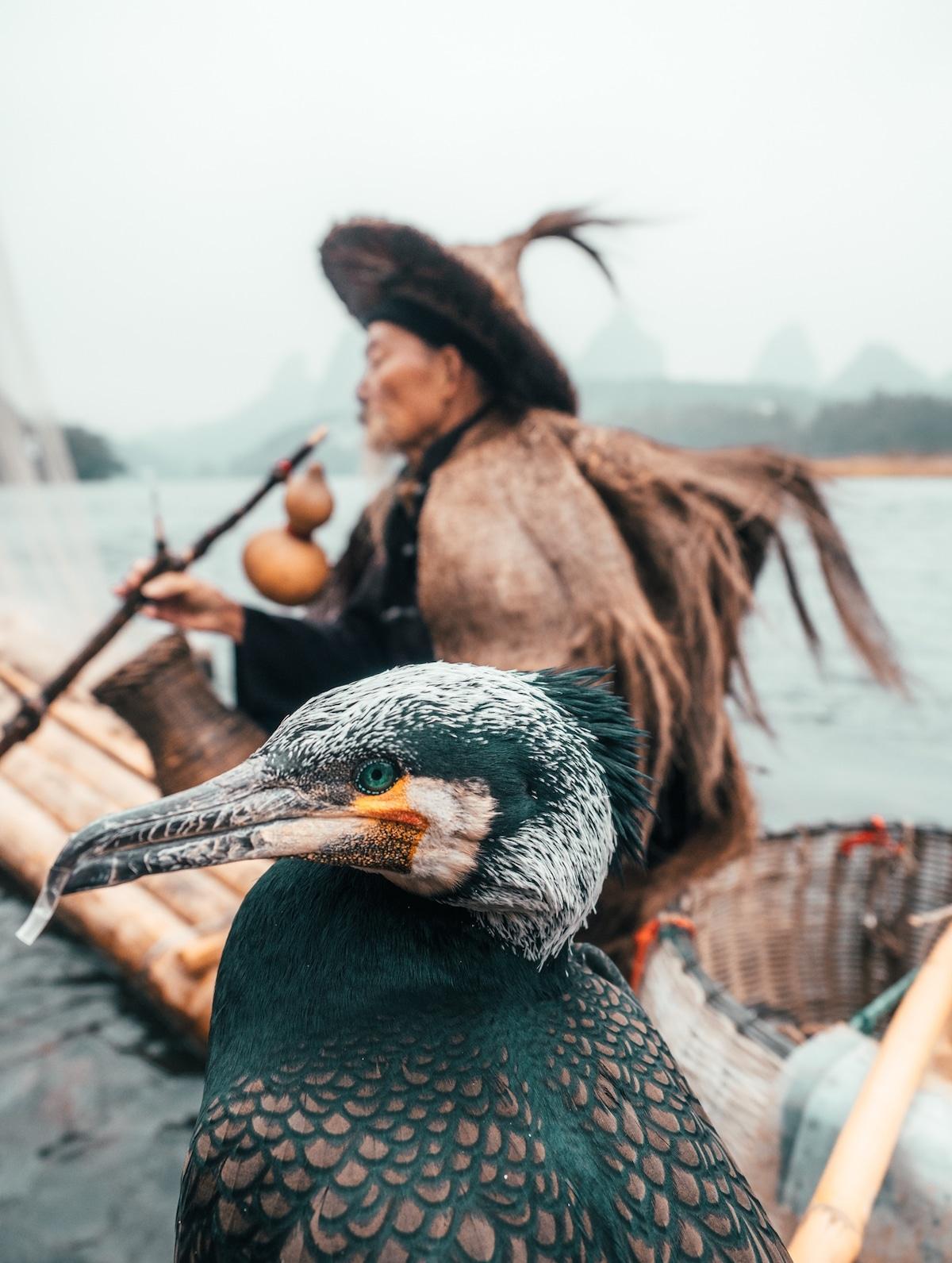 Nghề câu cá bằng chim cốc truyền thống của ngư dân Trung Quốc - Hình 5