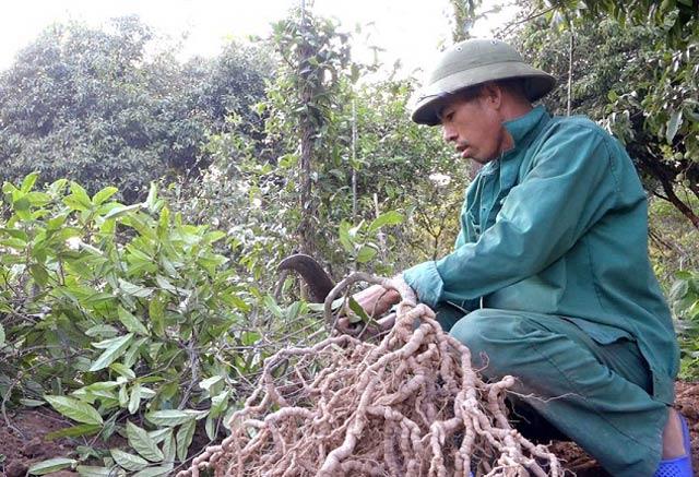 Thần dược phòng the xứ Bắc bén rễ trên quê nghèo ở Quảng Ngãi - Hình 6