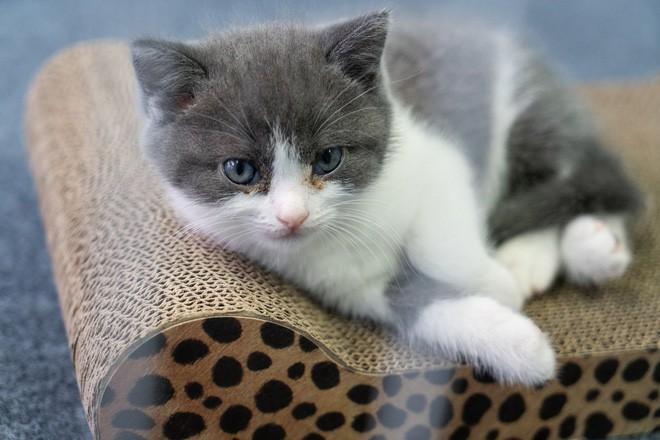 Vào ngày 21 tháng Bảy năm 2019, Bé Tỏi - con mèo nhân bản đầu tiên của Trung Quốc ra đời - Hình 2