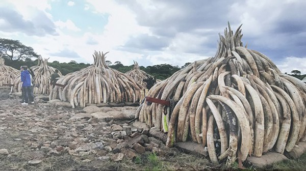 Bất ngờ với xu hướng tiến hóa mất ngà của loài voi trước nạn săn trộm - Hình 8