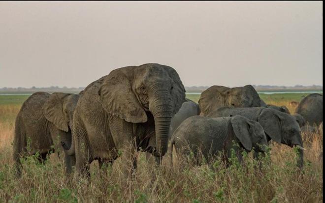 Bất ngờ với xu hướng tiến hóa mất ngà của loài voi trước nạn săn trộm - Hình 2
