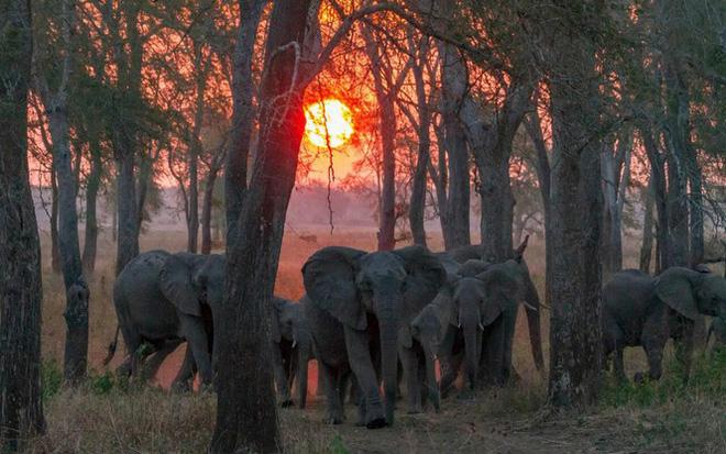 Bất ngờ với xu hướng tiến hóa mất ngà của loài voi trước nạn săn trộm - Hình 9