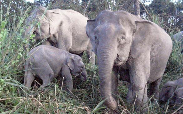Bất ngờ với xu hướng tiến hóa mất ngà của loài voi trước nạn săn trộm - Hình 6