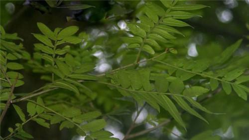Độc đáo loài cây khiến cá bị say, nổi nhất xứ Nghệ - Hình 2