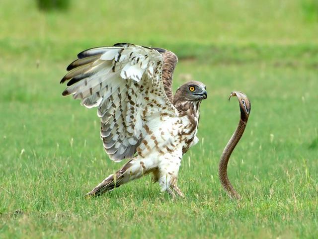 Cuộc chiến sống còn giữa đại bàng và rắn hổ mang - Hình 1