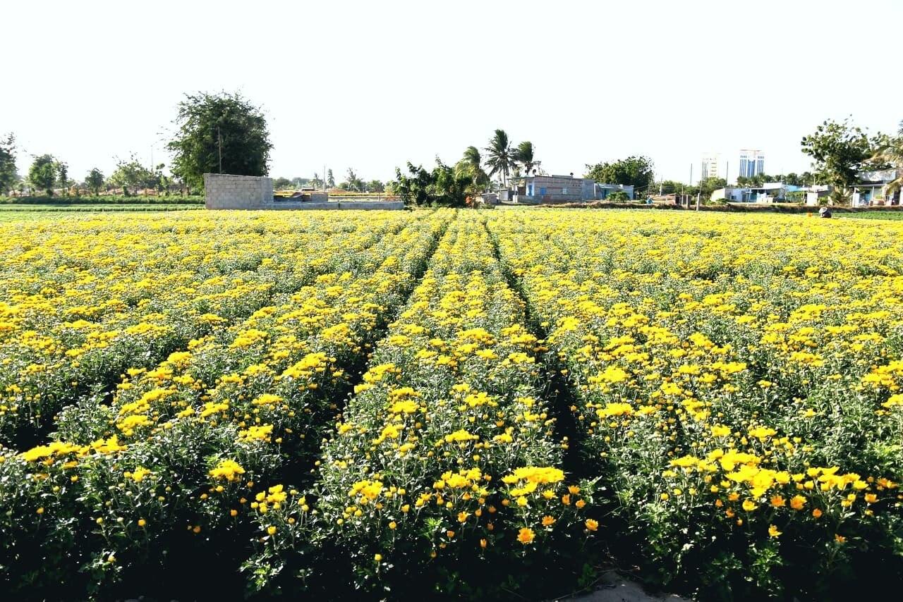 Chiêm ngưỡng cánh đồng cúc vàng đẹp mê mải chờ đón Tết ở Ninh Thuận - Hình 1