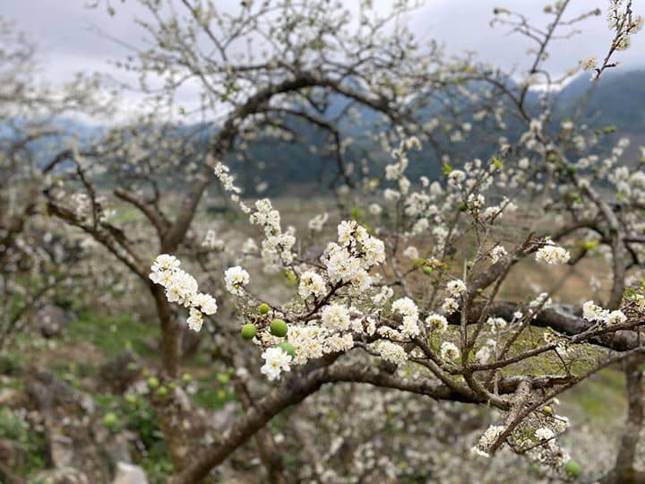 Chùm ảnh: Hoa mận nở trắng thung lũng Hang Kia - Pà Cò - Hình 1