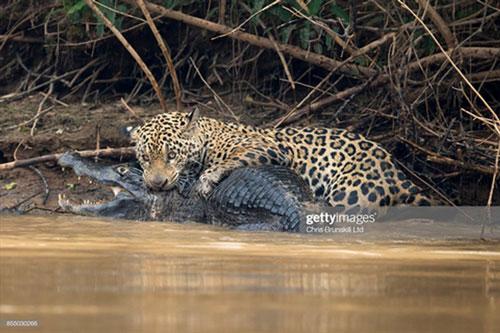 Kịch tính báo đốm lôi cá sấu khủng lên bờ ăn thịt - Hình 1