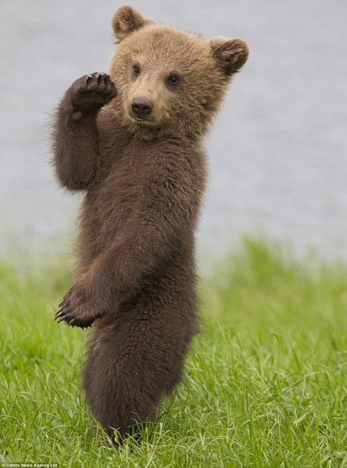 Loạt ảnh gấu con nổi hứng nhảy múa siêu đáng yêu - Hình 1
