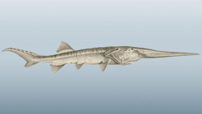 Cá mái chèo Trung Quốc đã tuyệt chủng - Hình 1
