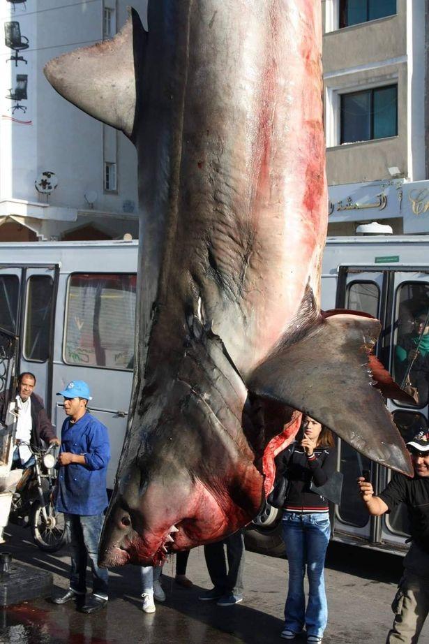 Cá mập trắng khủng bị treo ngược khiến nhiều người xôn xao - Hình 1