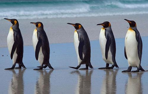 Vì sao chim cánh cụt không thể bay - Hình 1