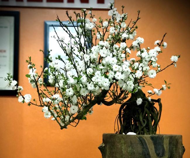 Sành điệu đón Tết cùng mai trắng bonsai - Hình 1