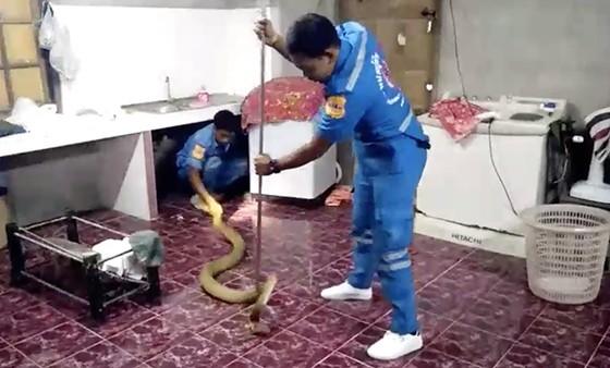 Clip khống chế rắn hổ mang chúa dài 4 mét trốn trong bếp - Hình 1