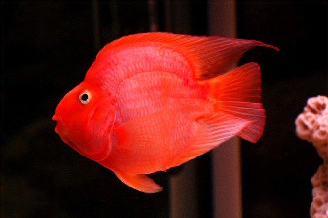 Thả loài cá này vào bể gia chủ tha hồ gặt hái tài lộc, may mắn đua nhau tìm tới - Hình 1