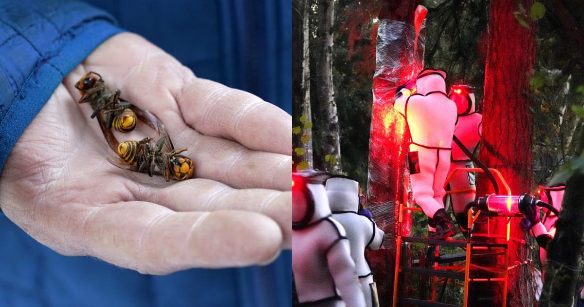 Triệt phá tổ ong bắp cày sát thủ đầu tiên ở bang Washington