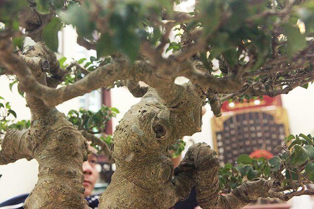 Ngắm cây cảnh huynh đệ đồng khoa kỳ dị đặt trong nhà - Hình 4