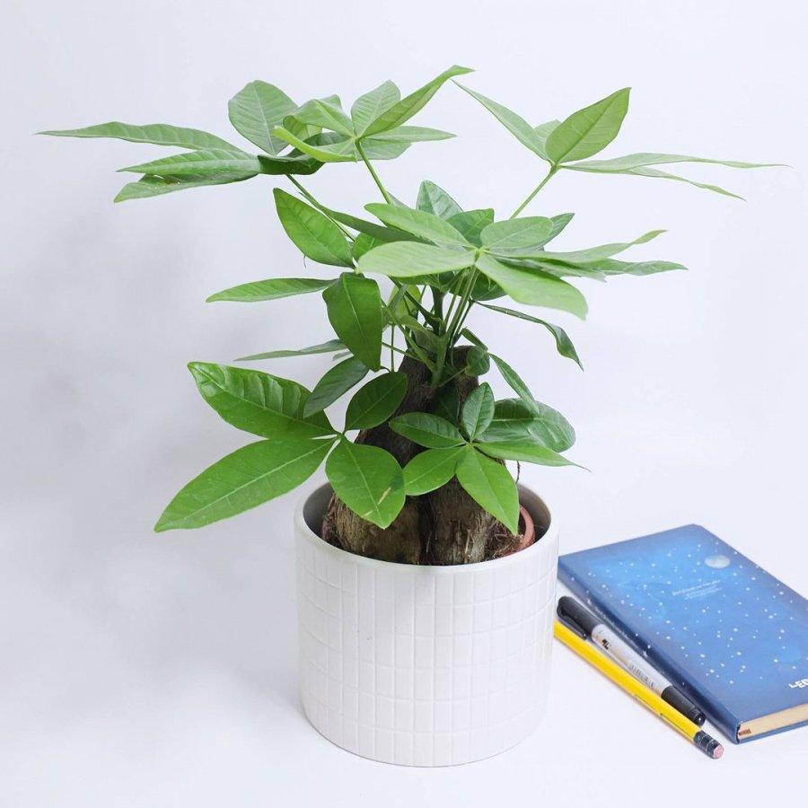 Sang năm 2021 muốn đổi vận, thêm tài lộc, hãy đặt 5 loại cây ăn tiền thiên hạ trong phòng khách - Hình 2