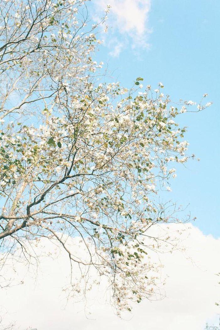 Những con đường ngập tràn hoa ban ở Đà Lạt tháng 12 này: Mình gặp nhau khi mùa hoa nở nhé! - Hình 2
