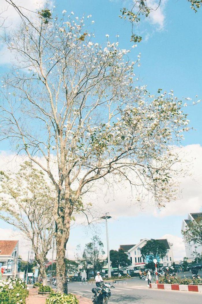 Những con đường ngập tràn hoa ban ở Đà Lạt tháng 12 này: Mình gặp nhau khi mùa hoa nở nhé! - Hình 4
