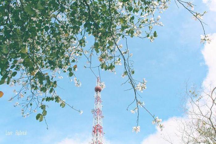 Những con đường ngập tràn hoa ban ở Đà Lạt tháng 12 này: Mình gặp nhau khi mùa hoa nở nhé! - Hình 3