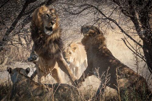 Ảnh động vật: Sư tử đực, cái quyết chiến, cá sấu bị cuốn cổ - Hình 1
