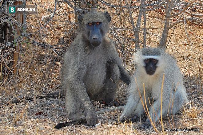 Tưởng bị hàng xóm bắt mất khỉ con, bầy khỉ Vervet phản ứng dữ dội và kết cục khó tin - Hình 2