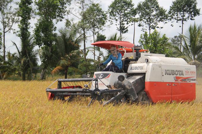 Sau lệnh tạm dừng xuất khẩu gạo: Giá lúa giảm khoảng 200 đồng/kg - Hình 1