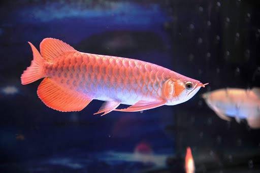 Muốn nuôi cá cảnh phát tài đừng quên chọn 5 loại này: Gia chủ đang nghèo cũng đổi đời nhanh chóng - Hình 2