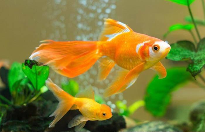Muốn nuôi cá cảnh phát tài đừng quên chọn 5 loại này: Gia chủ đang nghèo cũng đổi đời nhanh chóng - Hình 1