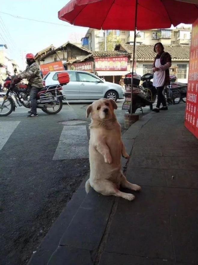Chó cưng ngồi trước cửa hàng xin ăn - Hình 1